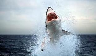 squalo-bianco-dilania-un-surfista-in-australia