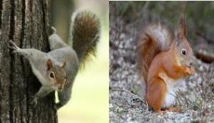 perugia-fermate-lo-sterminio-dello-scoiattolo-grigio